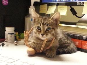 Gaby the desk kitteh
